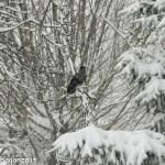 Cornacchia grigia (101) ramo neve
