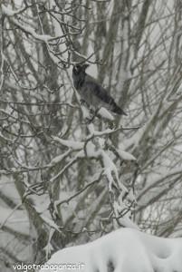Cornacchia grigia (107) ramo neve