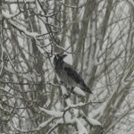Cornacchia grigia (108) ramo neve