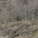 Cervo (100s) scompare  bosco (4)