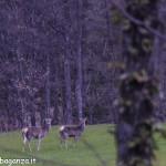 Cervo (103) Terenzo