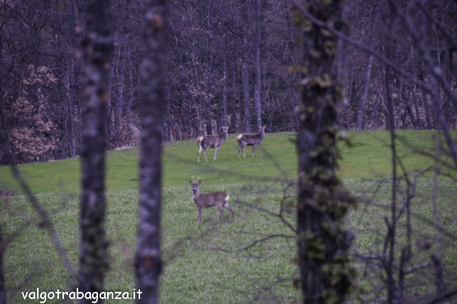 Cervo (104) Terenzo