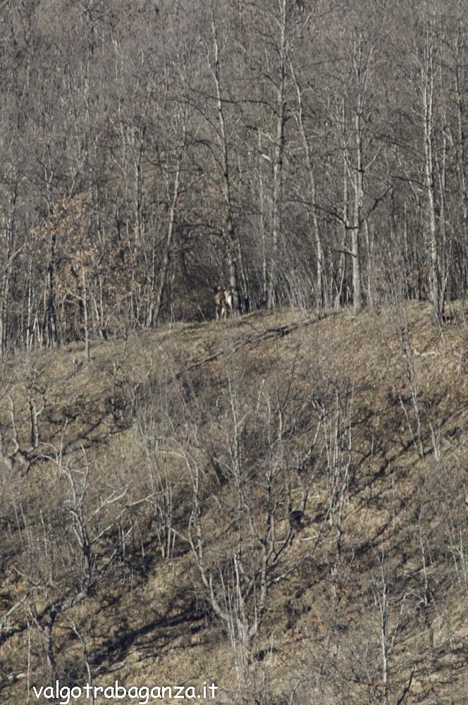 Cervo (200) scompare  bosco