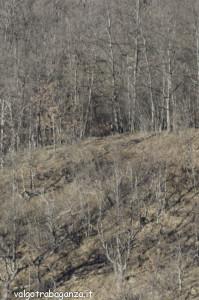 Cervo (201) scompare  bosco