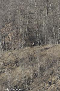 Cervo (202) scompare  bosco