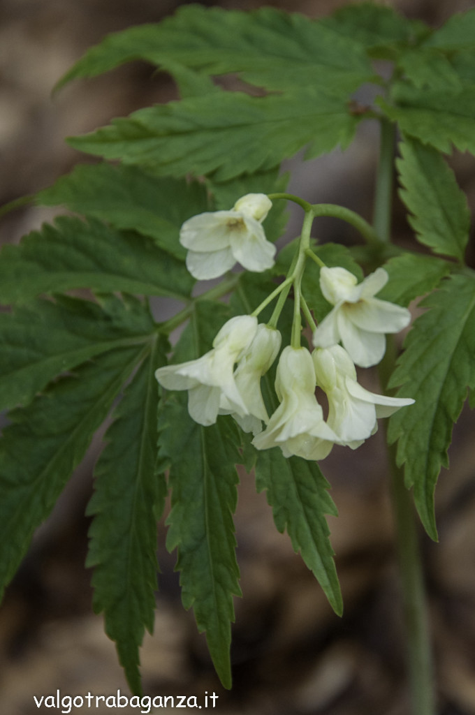 Dentaria 9 foglie (106) Cardamine enneaphyllos