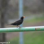 Merlo (100) Parco Cattaneo Bedonia