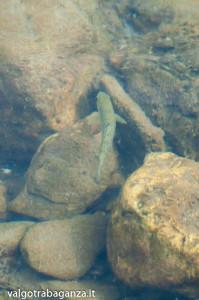 Trota Fario (104) Rio Pelpirana