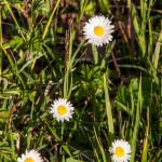 Belforte (214) fioriture
