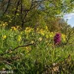 Belforte (220) fioriture