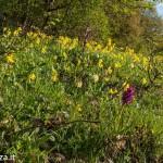 Belforte (222) fioriture