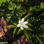 Belforte (223) fioriture