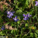 Belforte (224) fioriture