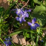 Belforte (225) fioriture