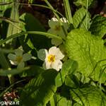 Belforte (227) fioriture