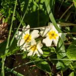 Belforte (228) fioriture