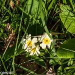 Belforte (229) fioriture