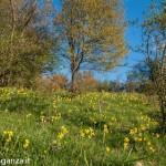 Belforte (235) fioriture