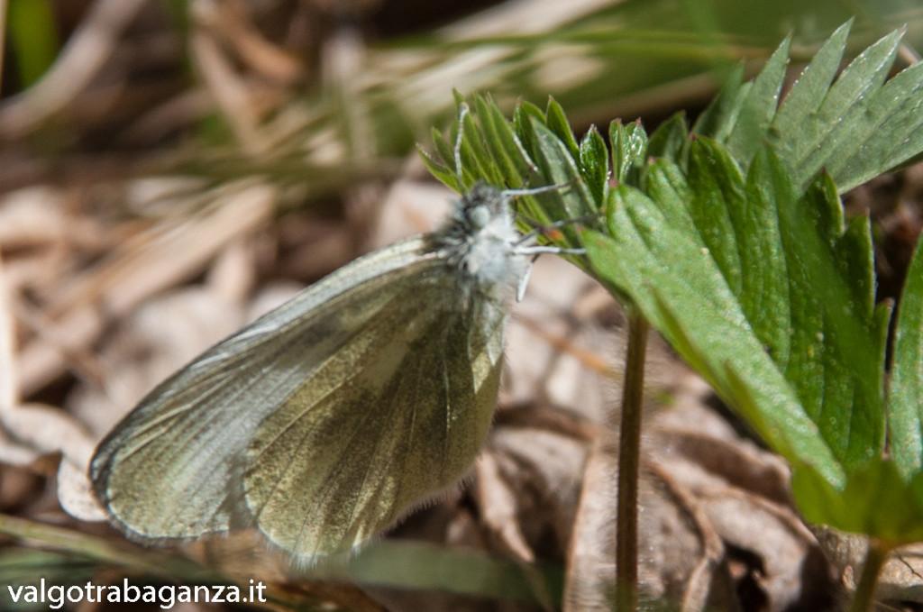 Farfalla Cavolaia (105)