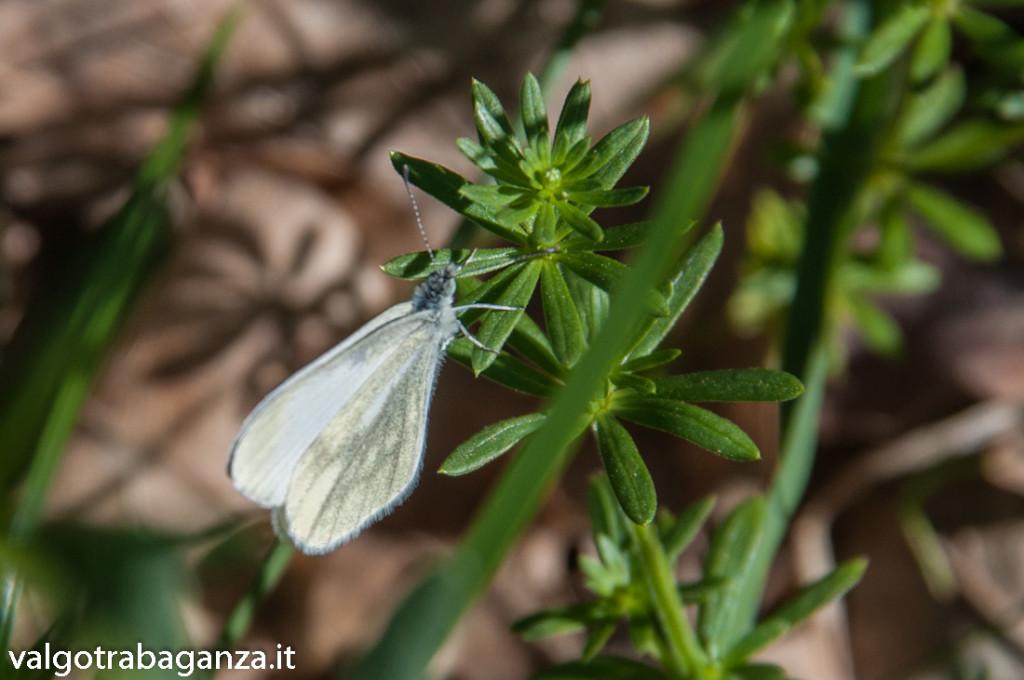 Farfalla Cavolaia (109)