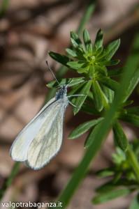Farfalla Cavolaia (111)