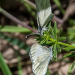 Farfalla Cavolaia (118)