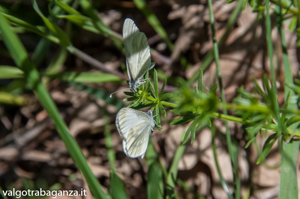 Farfalla Cavolaia (119)