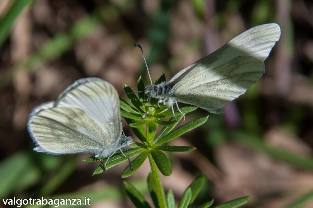 Farfalla Cavolaia (122)