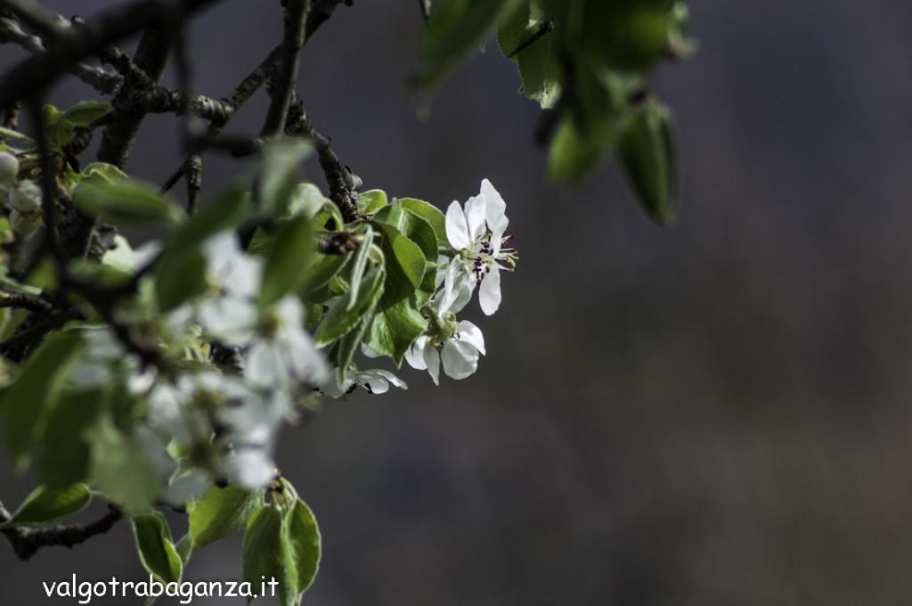 Fioritura  Pero (114) natura