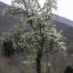 Fioritura  Pero (126) natura
