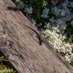 Lucertola muraiola (100) al sole
