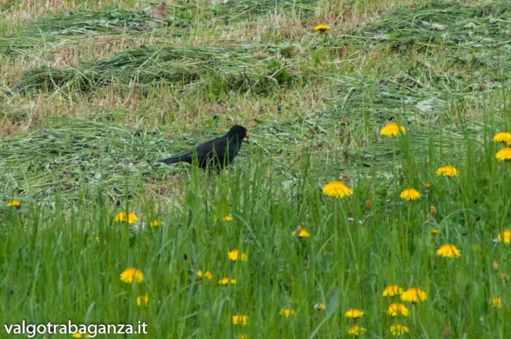 Merlo (105) primavera