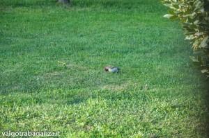 Picchio verde (111) nel giardino