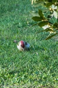 Picchio verde (115) nel giardino