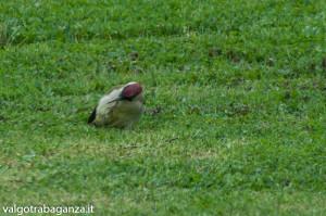 Picchio verde (117) erba primavera