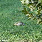Picchio verde (117) nel giardino