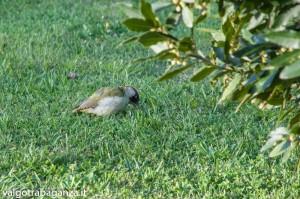 Picchio verde (119) nel giardino