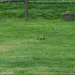 Picchio verde (121) erba primavera