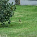 Picchio verde (124) erba primavera