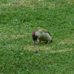 Picchio verde (125) erba primavera