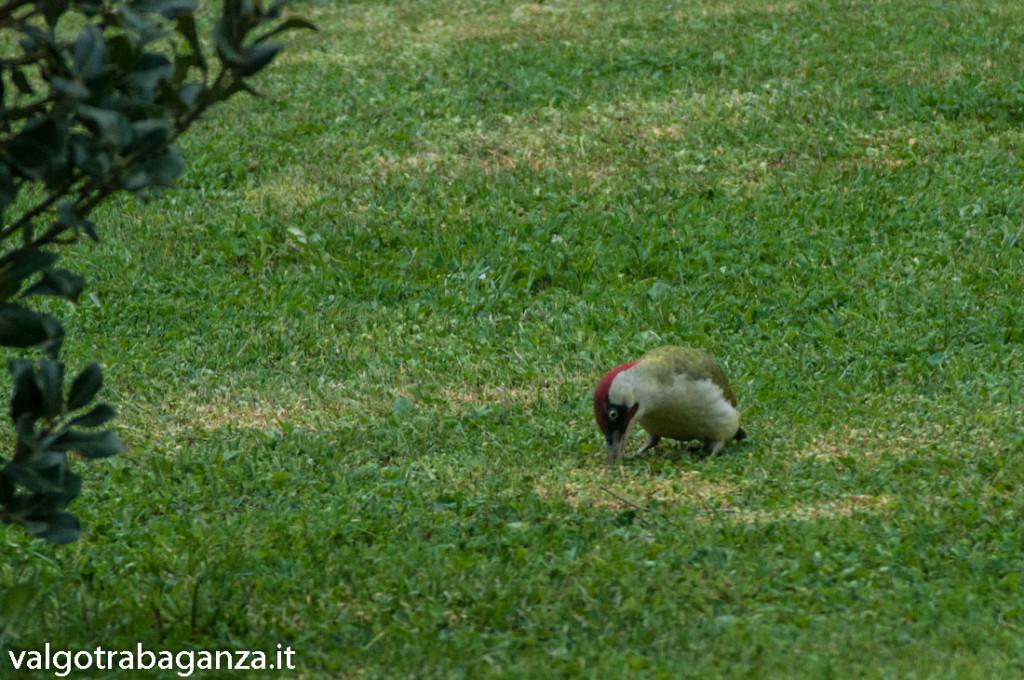 Picchio verde (126) erba primavera
