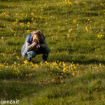 Primula odorosa (105) Primula veris
