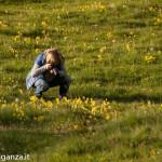 Primula odorosa (106) Primula veris