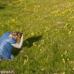 Primula odorosa (109) Primula veris