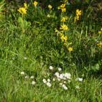 Primula odorosa (123) Primula veris