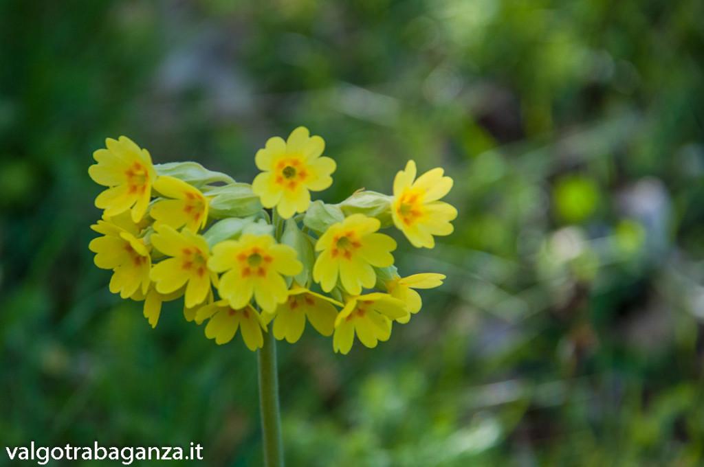 Primula odorosa (127) Primula veris