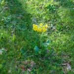 Primula odorosa (128) Primula veris