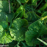 Primula odorosa (136) Primula veris