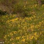 Primula odorosa (139) Primula veris