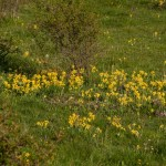 Primula odorosa (143) Primula veris